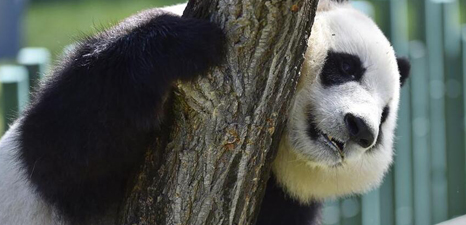 Four pandas from SW China make debut in NE China