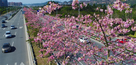 Blooming kapok trees in Quanzhou City, SE China