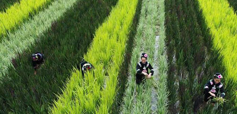 Farmers of Miao ethnic group work in paddy-fields in SW China
