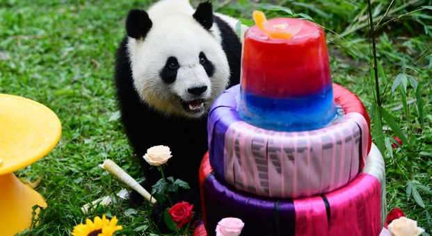 Birthday party held for giant panda in Changchun, China